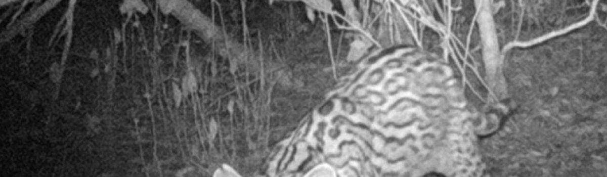 Iberdrola, al rescate de los felinos de Altamira, Tamaulipas